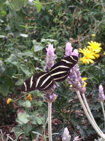 Desert Botanical Garden butterfly