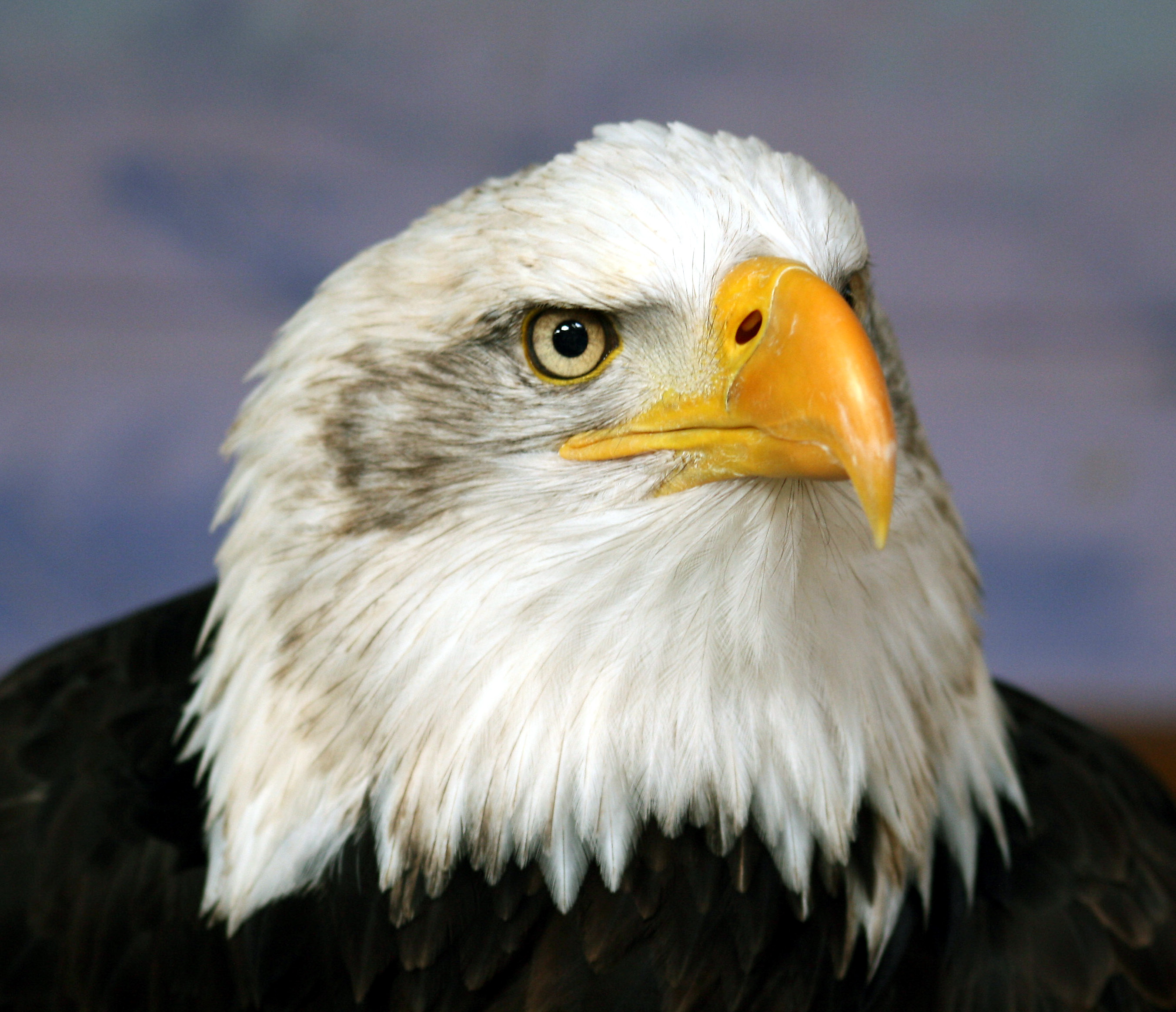 Bald eagle head image
