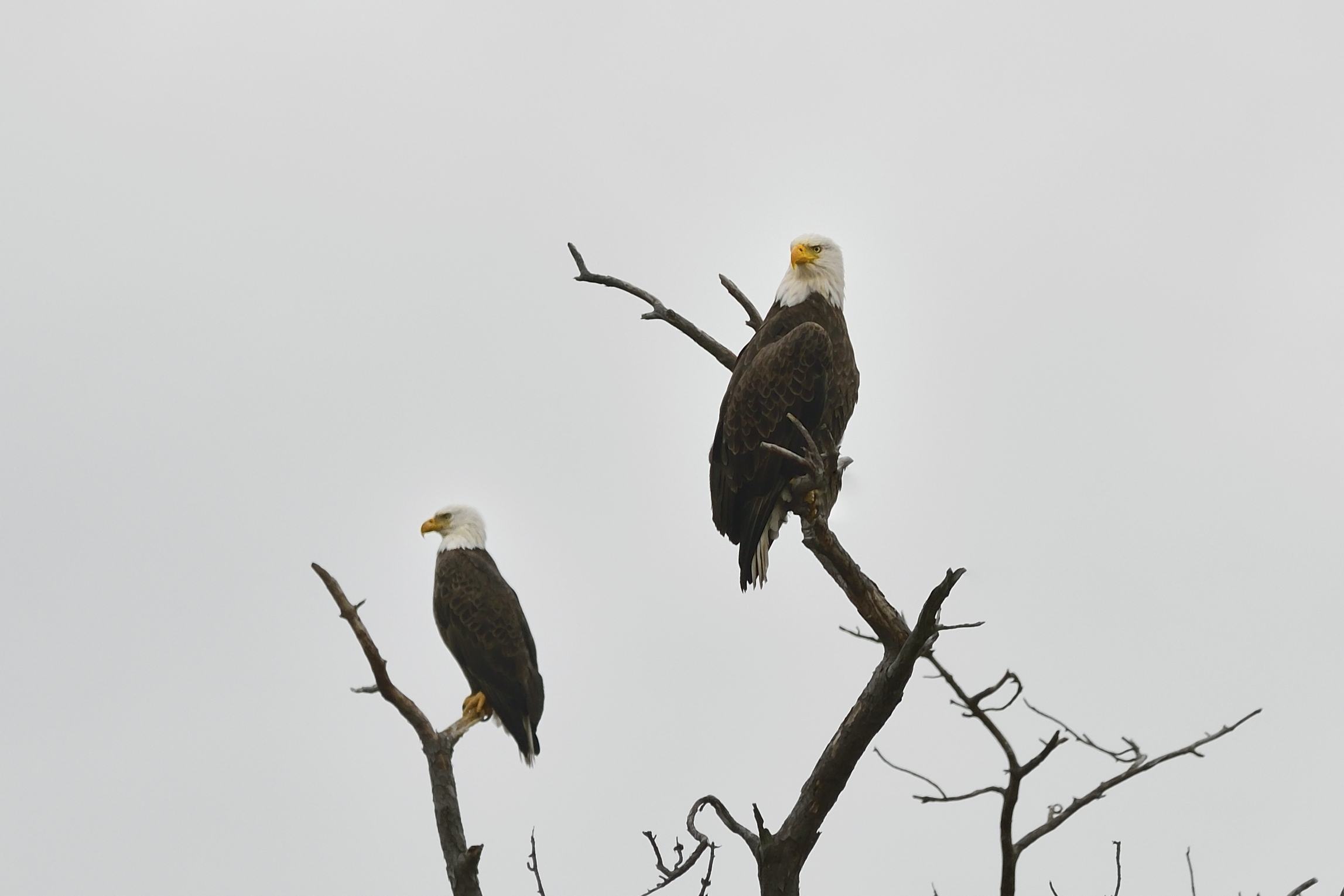 Eagles in Hudson Valley