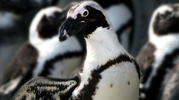 African Penguin at Seneca Park Zoo - Photo by Joe Territo