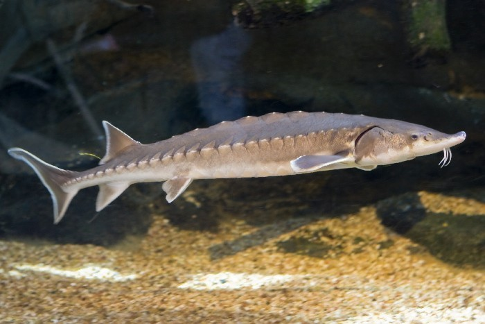 The Atlantic Sturgeon. Photo by Brian Reynolds