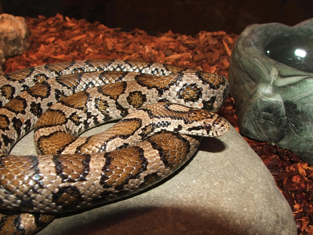 Come see live snakes and learn about snakes native to the Hudson Valley at the Hudson Highlands Nature Museum on Saturday, August 3 at 10 a.m. and 11:30 a.m. Photo by Pam Golben.