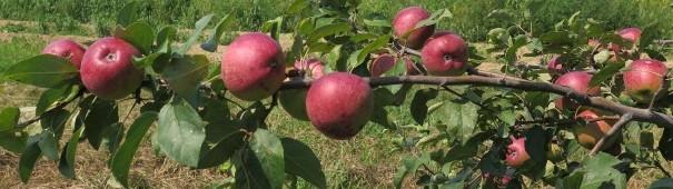 Apples (1)