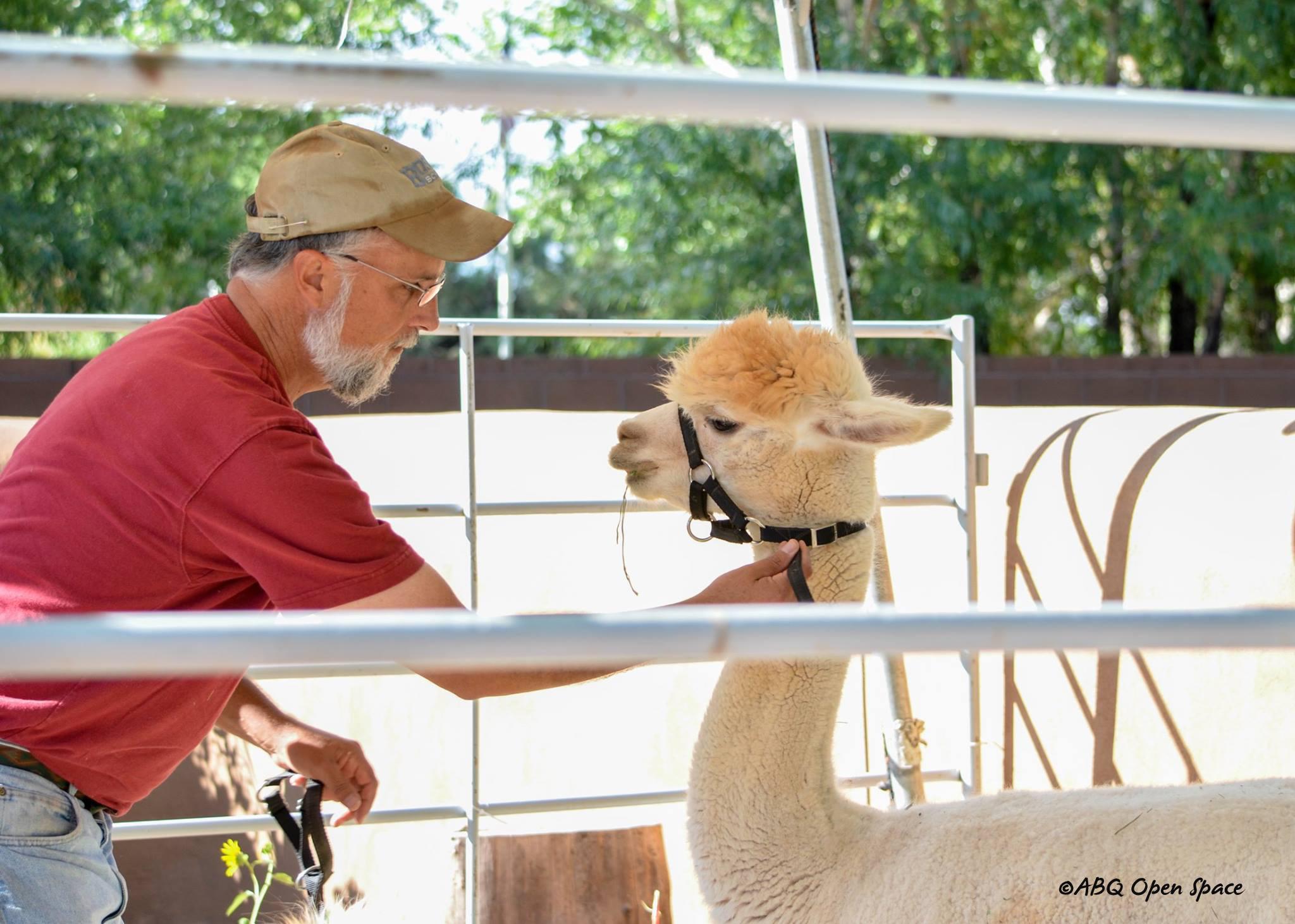 Alpaca at the Albuquerque Open Space