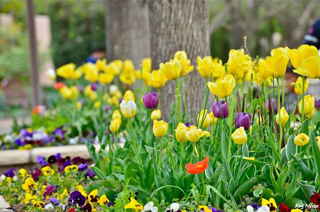 Spring bulbs and pansies provide early color in the botanic garden of the ABQ BioPark