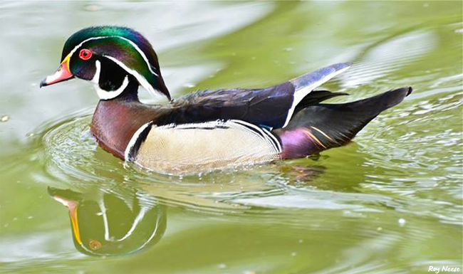 A wood duck paddles along in the koi pond in the Sasebo Japanese Garden at the ABQ BioPark