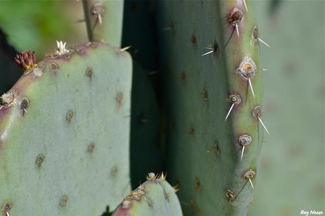 There are cactus aplenty in the botanic garden at the ABQ BioPark