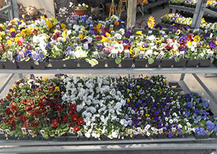Kal-Bro Farms flat of pansies