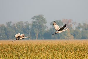 Sandhill Cranes - Jasper-Pulaski Fish & Wildlife