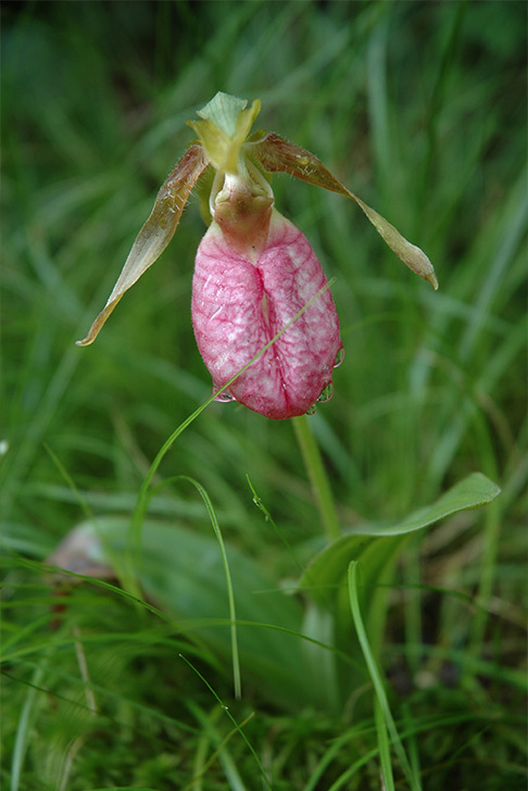 Pink Lady's Slipper orchid at Pinhook Bog, Indiana Dunes