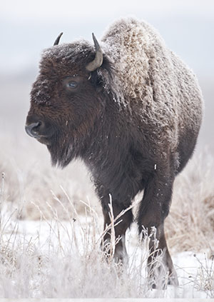 Single Bison at Kankakee Sands in Winter