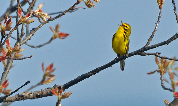 Prairie Warbler - Courtesy of Indiana Dunes State Park