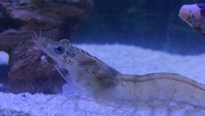 JT Shrimp - Wheatfield