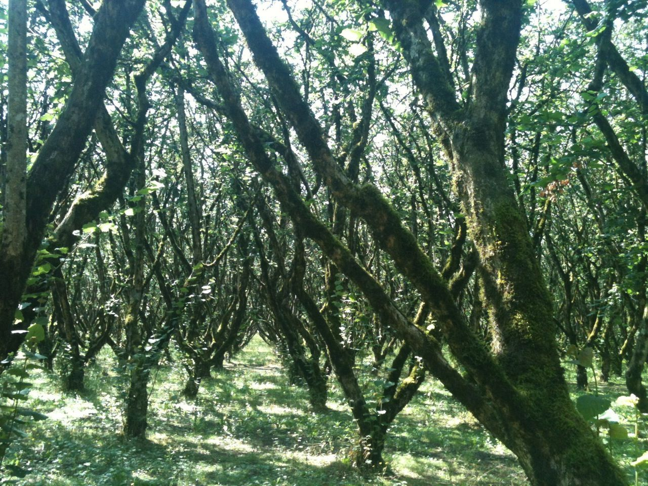 hazelnut grove