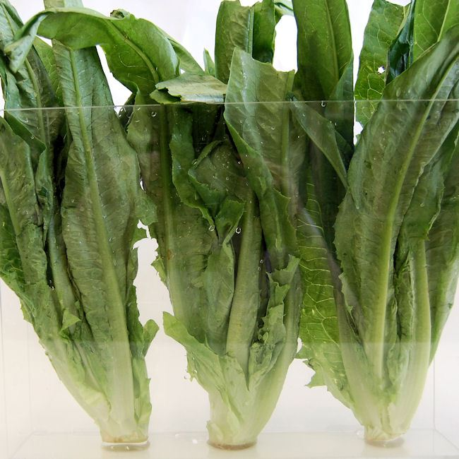 A choy, also known as Taiwanese lettuce