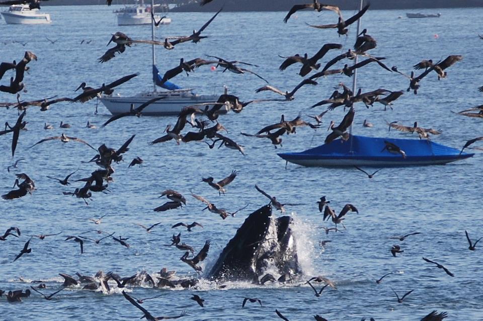 Avila Beach Whale