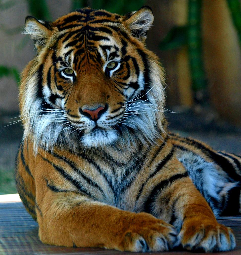 Atascadero_tiger