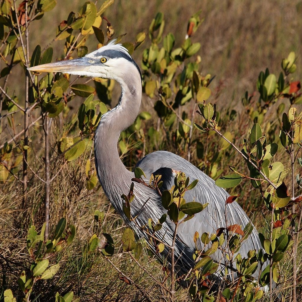 Blog - Great Blue Heron
