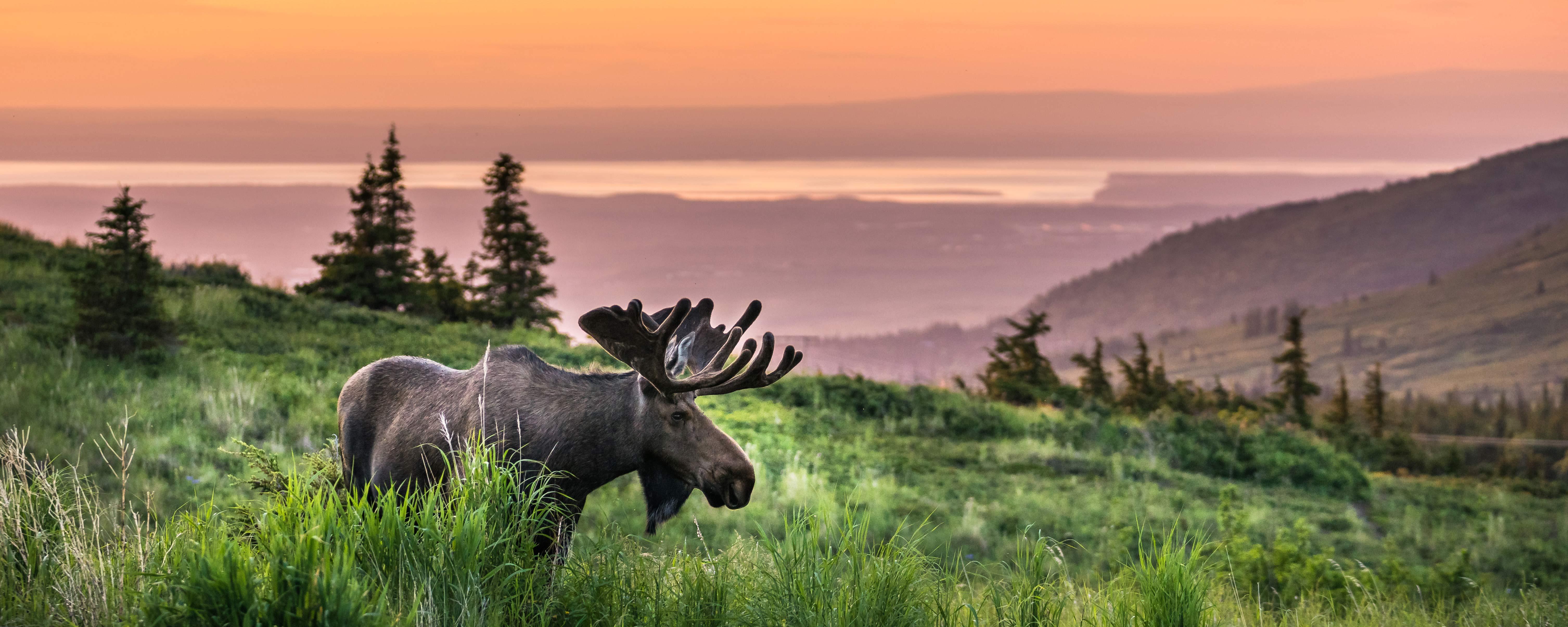 Moose in Anchorage | Visit Anchorage