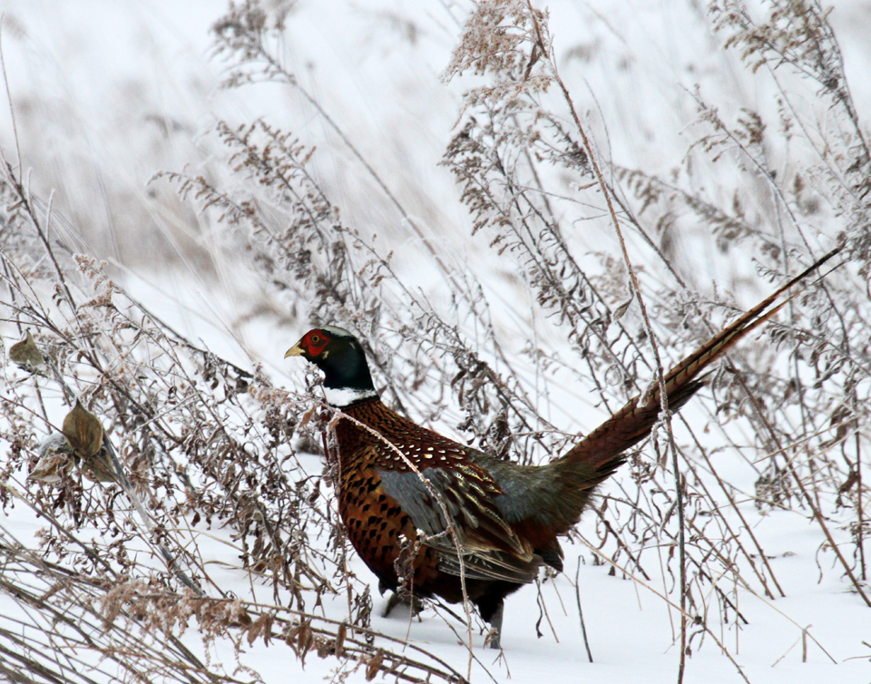 Winter Pheasant courtesy of Bob Magee