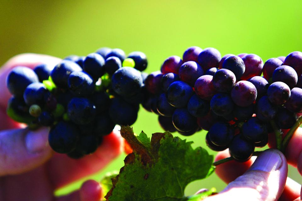 Grape Close Up courtesy of Dr. Frank's