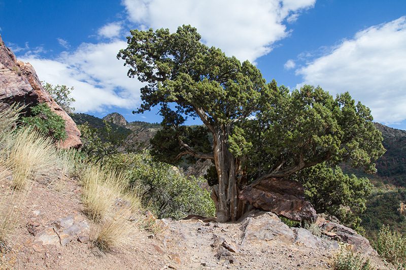 A large old juniper next to the trail with the summit in the background