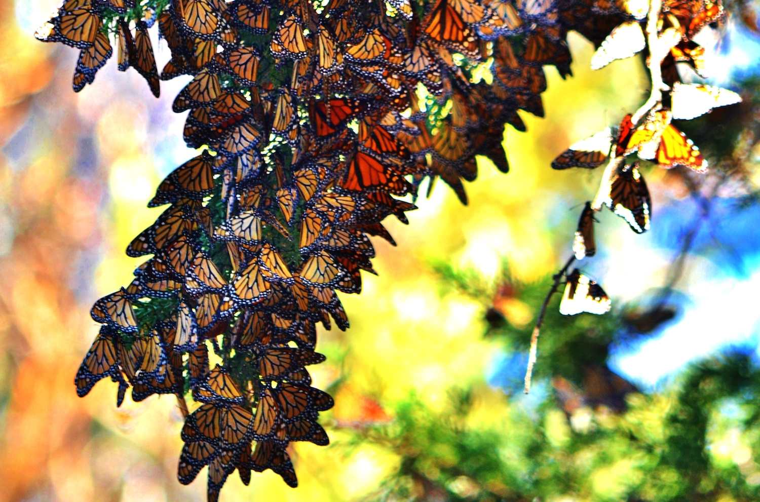 Monarch Butterfly Grove copy
