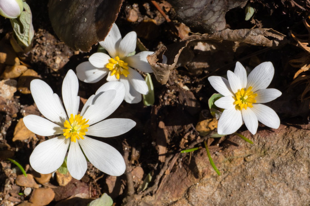 Bloodroot at the Huntsville Botanical Garden