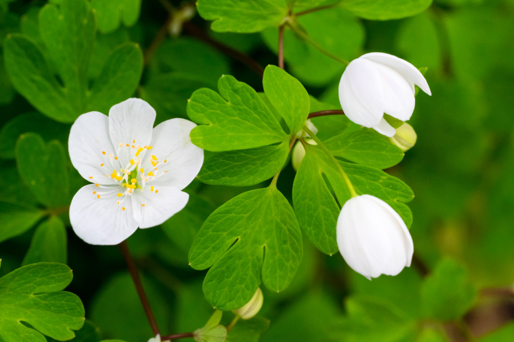 False Rue Anemone