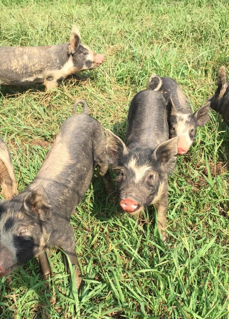 Cursed Pigs