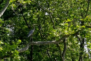 A heron is one of several kinds of wildlife that can be seen on the Elkhart River. (Photo by Marshall V. King)
