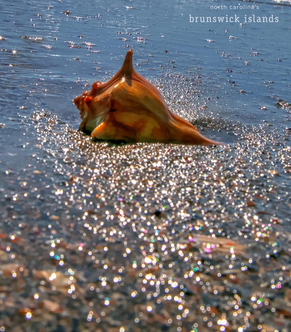 knobbed whelk
