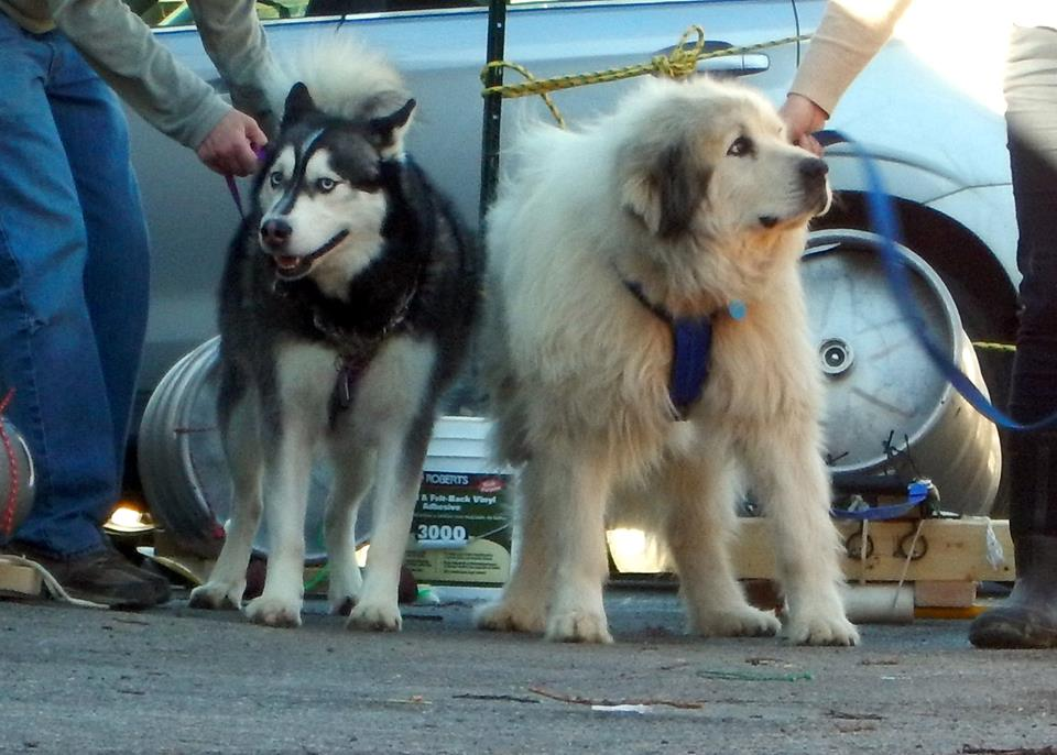 Two dogs prepare to tow small kegs in the K9 Keg Pull race