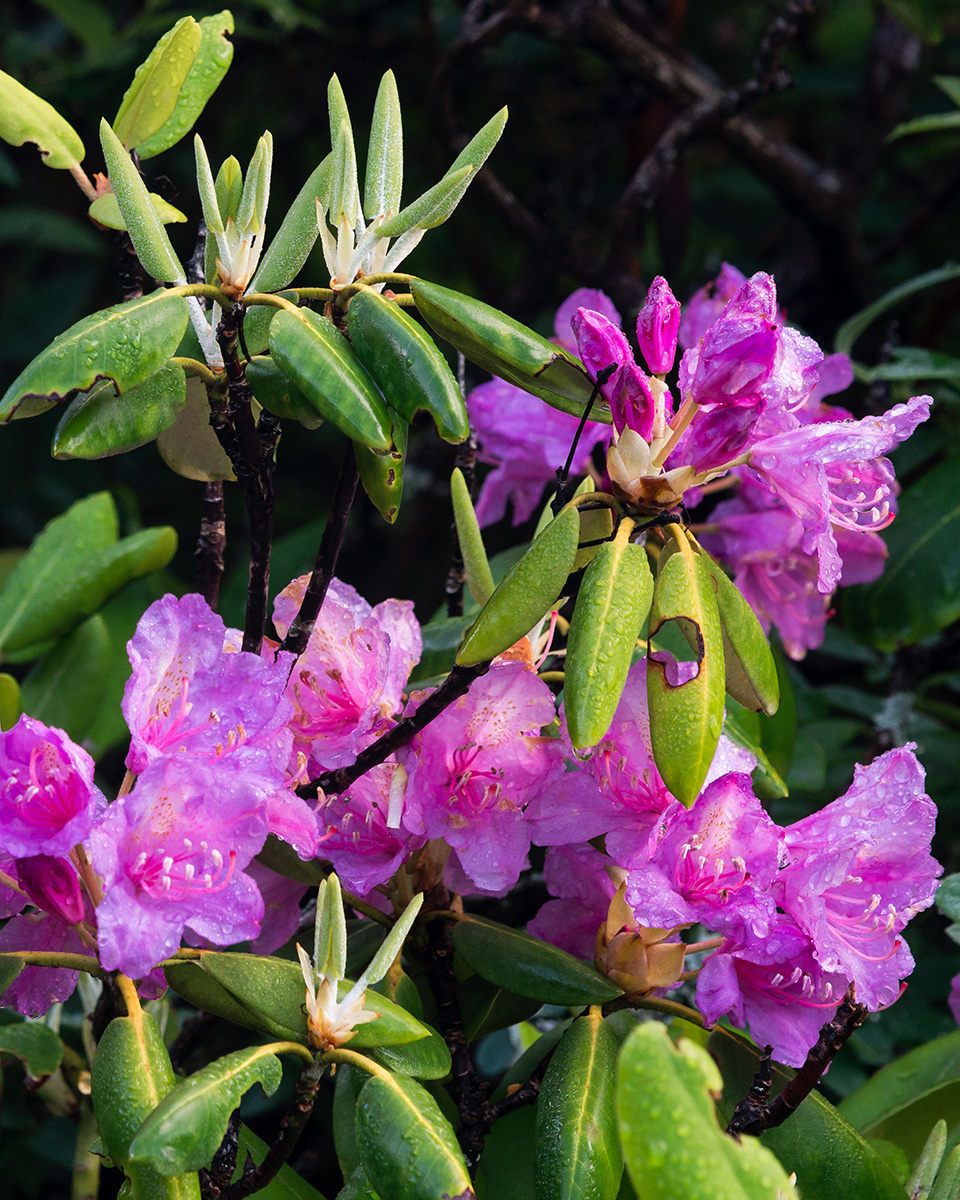 Grandfather Mountain's Remarkable Rhododendron Ramble returns this June, with short, guided strolls offered daily June 1-8. The naturalist-led, interpretive walks show visitors where to best observe the blooms, while teaching them about their history, characteristics and roles they play in the mountain's ecological communities. The programs are free with regular park admission. Photo by Skip Sickler | Grandfather Mountain Stewardship Foundation