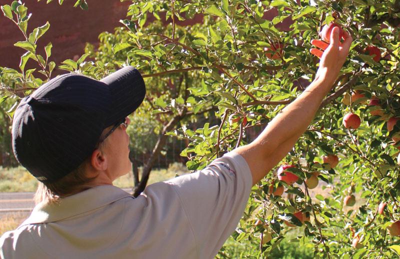 Picking apples in Fruita