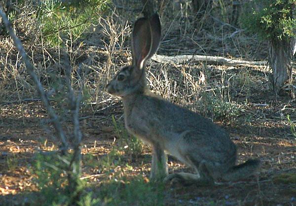 Utah Jack Rabbit