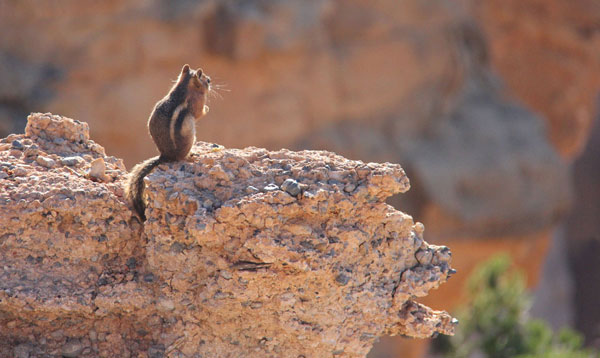 Utah Chipmunk
