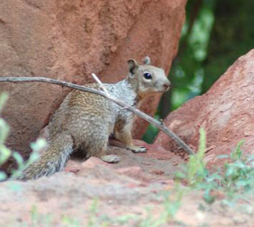 Utah Squirrel