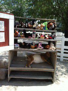 Sleeping Goat at Columbian Park Farm!