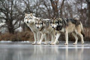 Frozen Pond 3 wolves