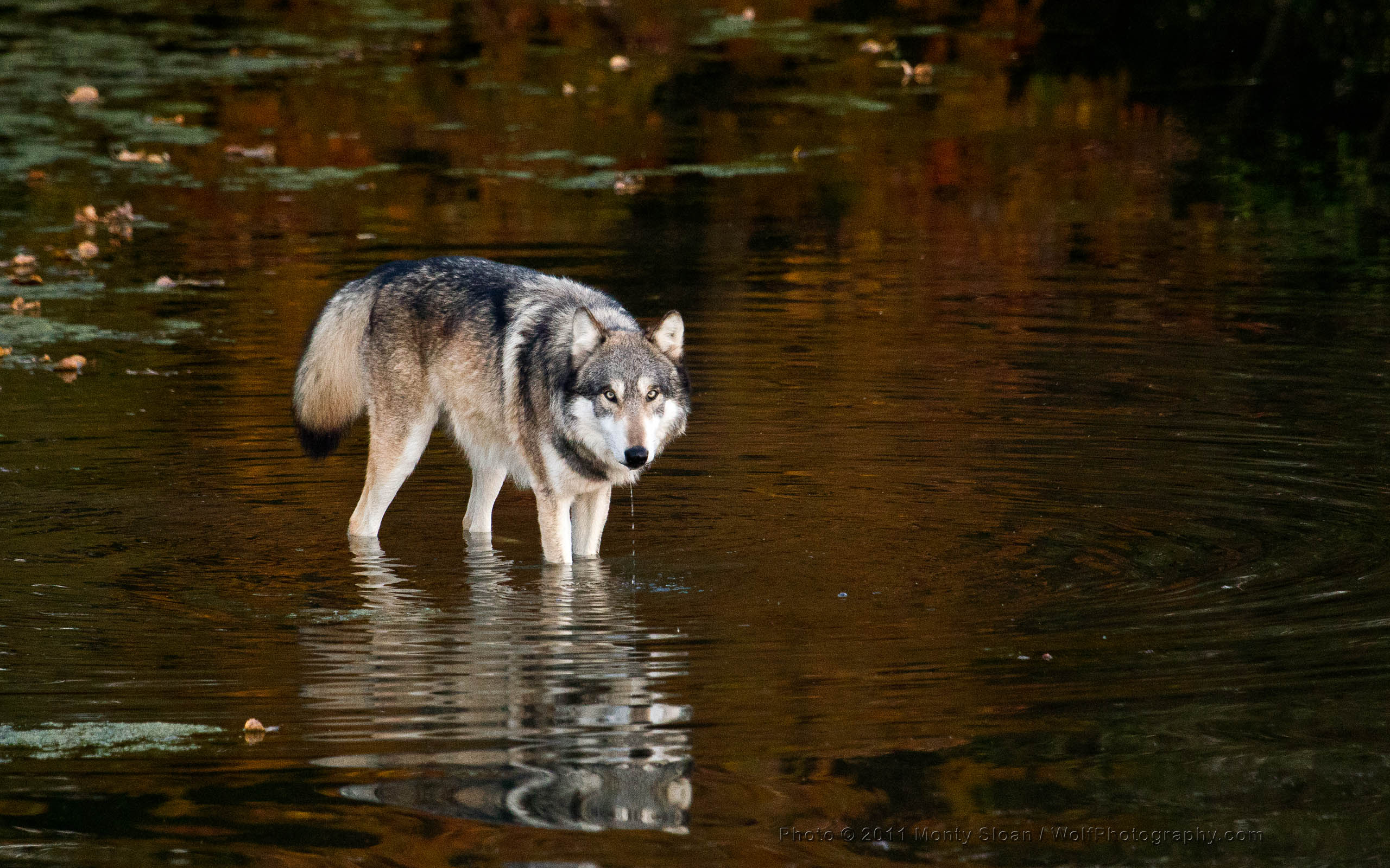 Wolfgang Wading in the Pond