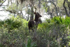 Sambar Deer on St. Vincent Island