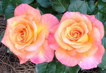 Roses for the Gulf Coast at Bellingrath Gardens and Home