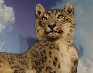 Robert A. Hefner Museum of Natural History Leopard