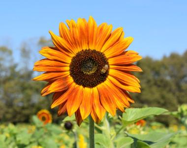 Burwinkel Sunflower