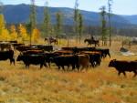 Vista Verde Cattle