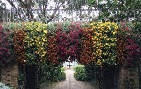 Fall Outdoor Cascading Chrysanthemums at Bellingrath Gardens and Home