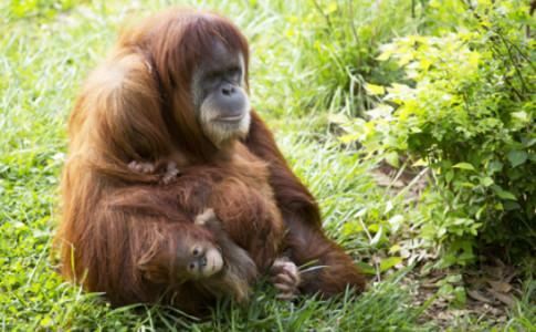 Atlanta-Zoo-Atlanta-Orangutans-550x367