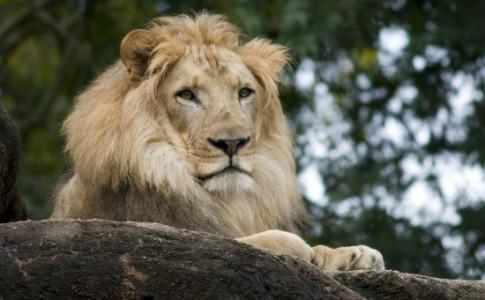 Atlanta-Zoo-Lion-550x367
