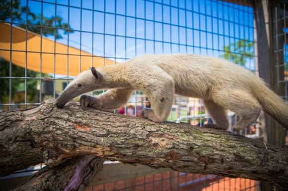 Tamandua Encounter: Alabama Gulf Coast Zoo